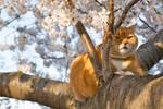 Ginger Cherry Blossom Cat (freebie)