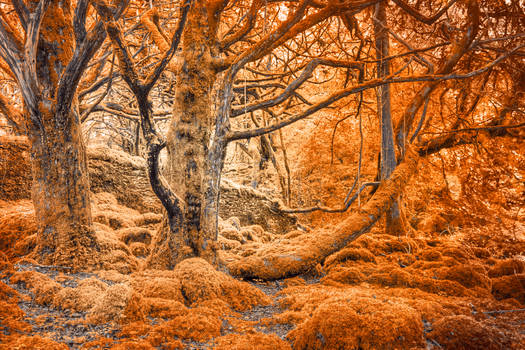 Glowing Amber Forest - Killarney Park by boldfrontiers