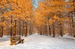 Gold Winter Pine Trail