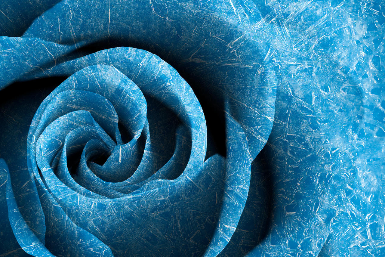 Arctic Rose by boldfrontiers