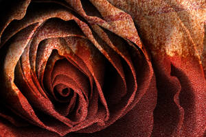 Bleeding Rust Rose by boldfrontiers