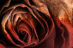 Bleeding Rust Rose