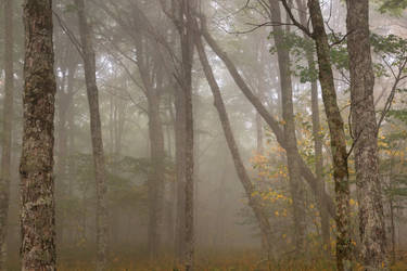 Misty Spruce Knob Forest by boldfrontiers