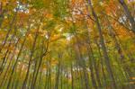 Fall Forest Foliage