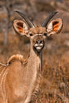 Young Kudu by boldfrontiers