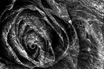 Charred Black Rose