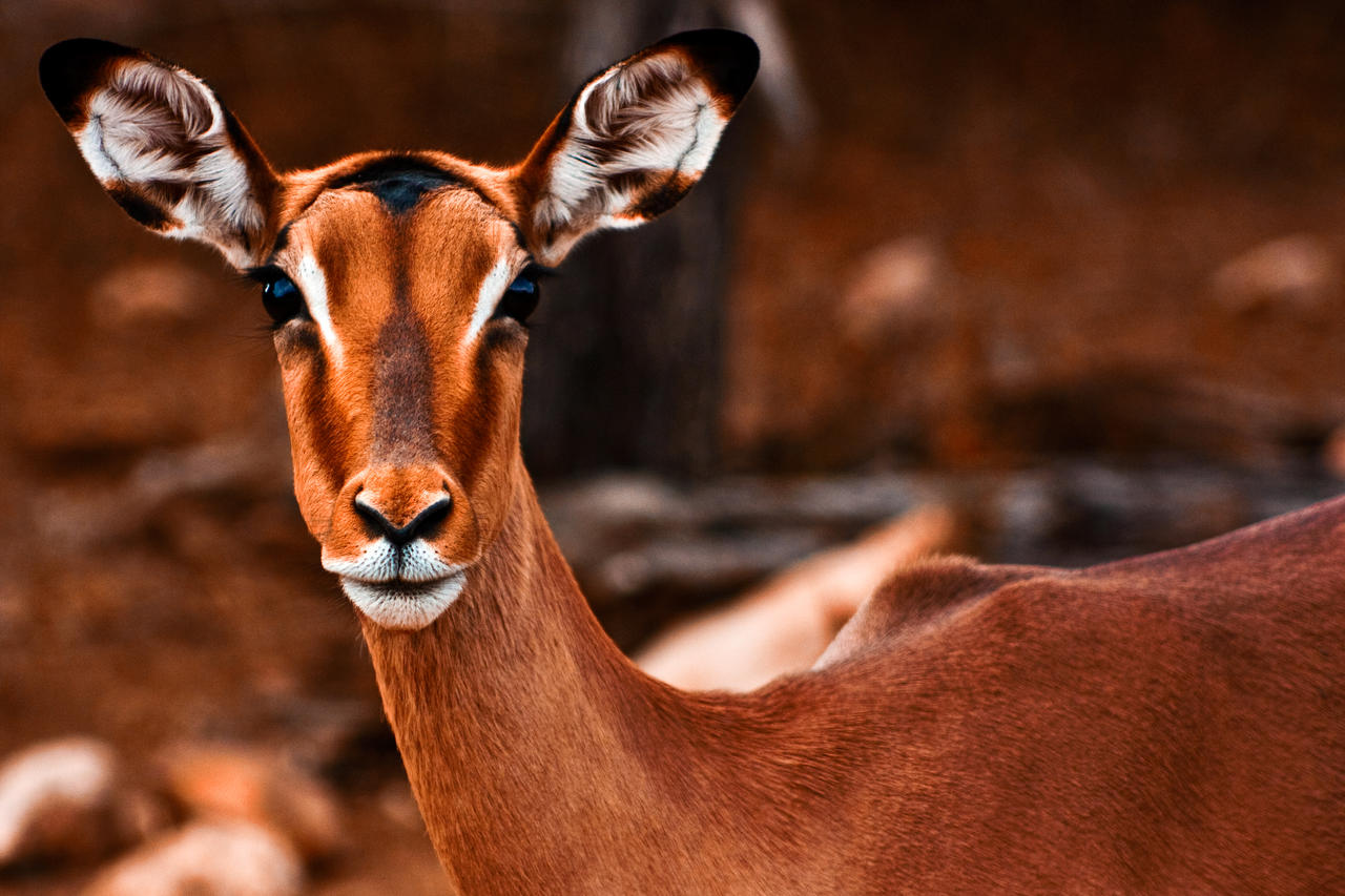 Impala animal hd wallpapers wallpapers13 com - Impala Animal Hd Wallpapers Wallpapers13 Com
