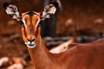 Impala Female by boldfrontiers