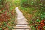 Winding Boardwalk Trail - Dolly Sods (freebie)
