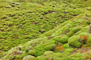 Iceland Rock Moss by boldfrontiers