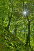 Dunkeld Moss Sunburst Forest by boldfrontiers