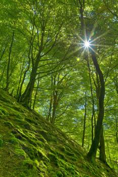 Dunkeld Moss Sunburst Forest