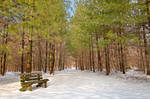 Winter Pine Trail