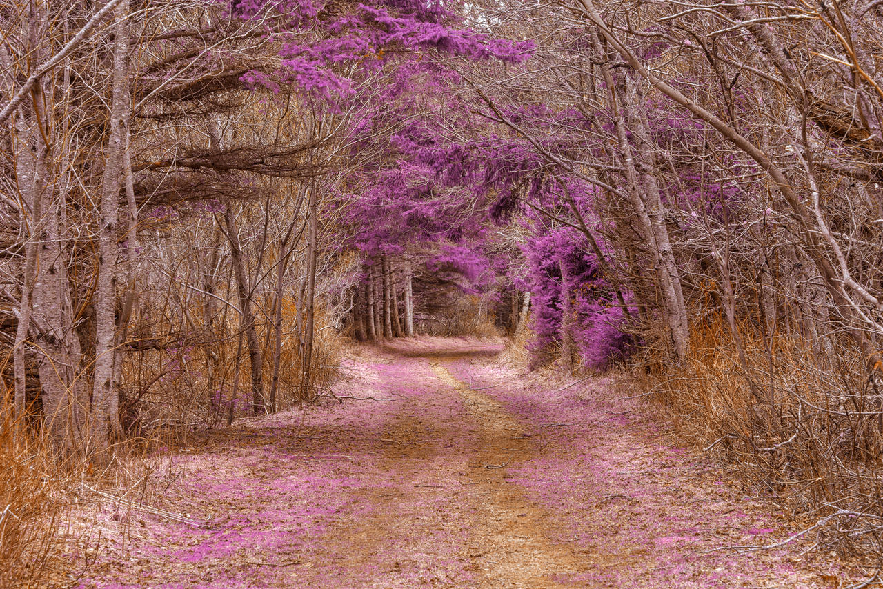 Cavendish Forest Trail - Purple Nostalgia by boldfrontiers