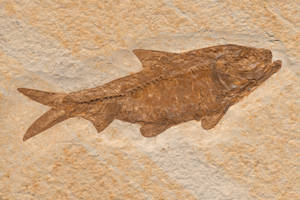 Knightia Herring Fish Fossil by boldfrontiers