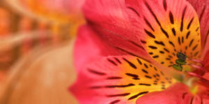 Inca Magic Lily by boldfrontiers