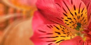 Inca Magic Lily