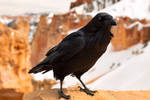 Bryce Canyon Winter Crow (freebie)