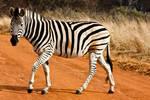 Strutting Zebra by boldfrontiers