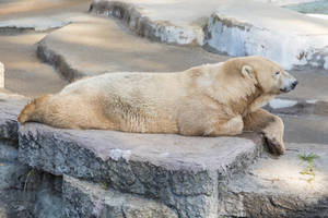 Resting Polar Bear (freebie)