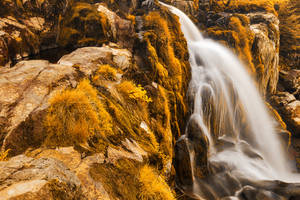 Gold Loup of Fintry