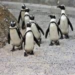 Penguin Posse (freebie) by boldfrontiers