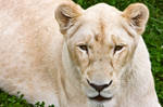 White Lioness by boldfrontiers