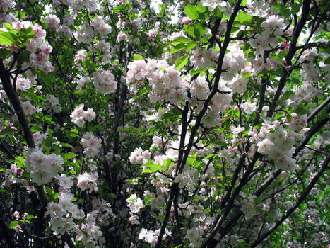 apple blossoms sm