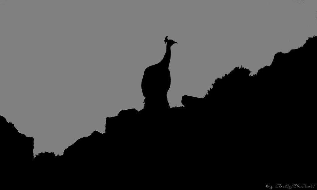 Peacock by BillyNikoll