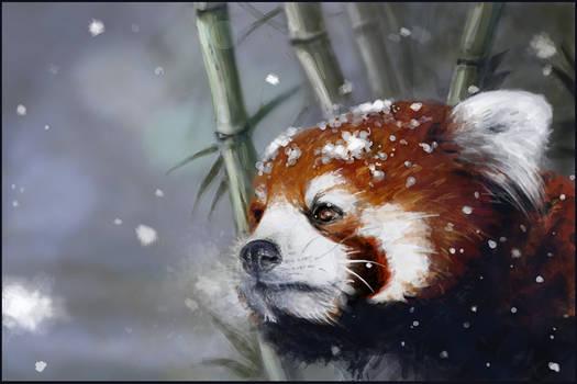 Red panda: winter is coming