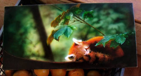 Red panda sleep in forest