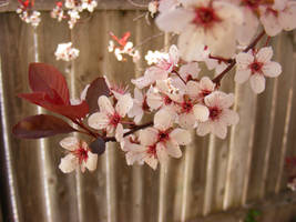 Plum Blossoms by JamesDarrow