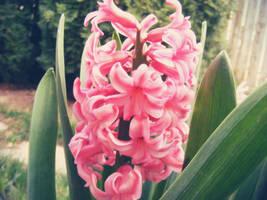 Hyacinth by JamesDarrow