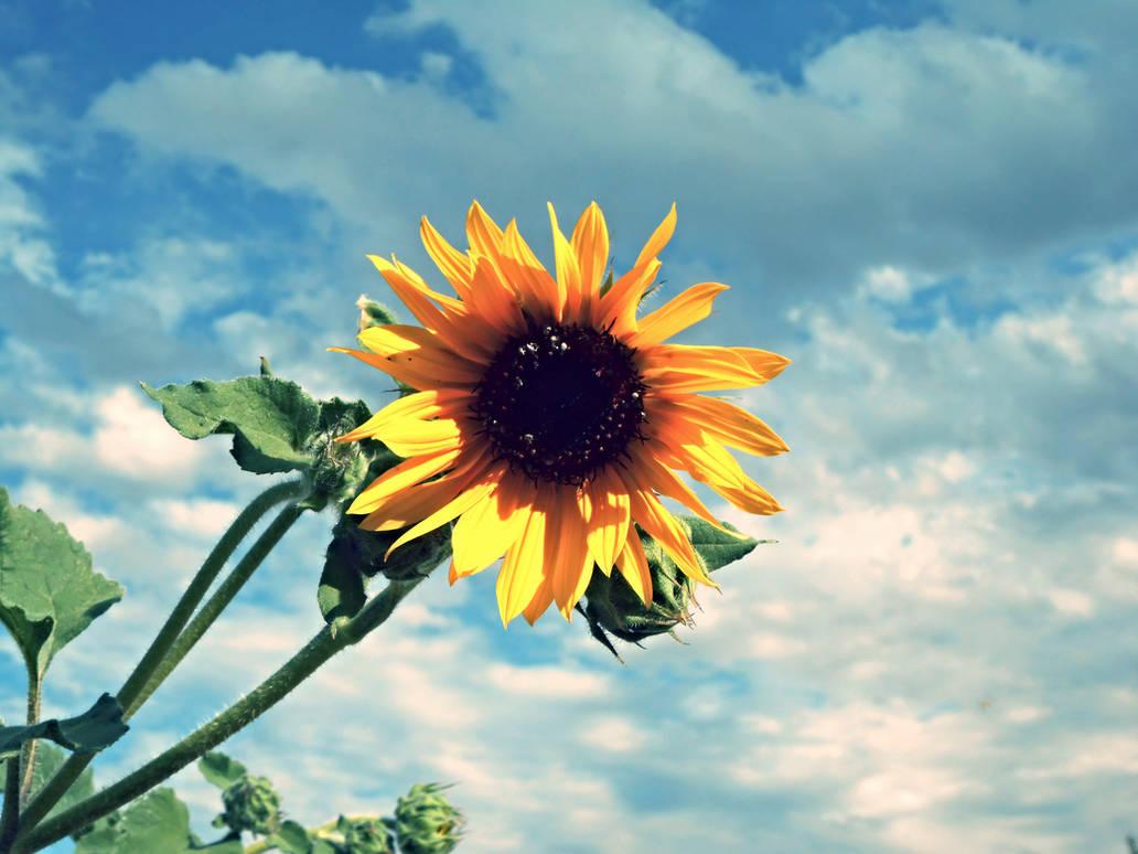 Sunflower by JamesDarrow