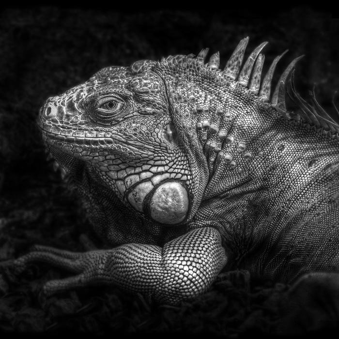 ...iguana... by roblfc1892