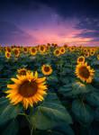 sunflower fields by roblfc1892