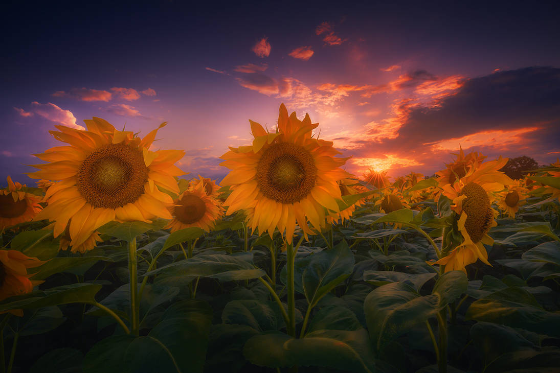 sunflowers by roblfc1892