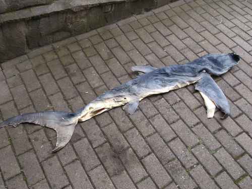 Mountable blue shark skin SOLD by PrinzLoon