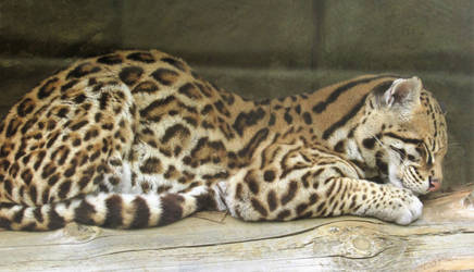 Sleepy Ocelot by Sia-Mon