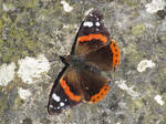 Red admiral by Sia-Mon