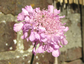 Scabious by Sia-Mon