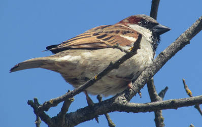 Male sparrow by Sia-Mon
