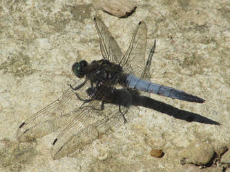 Black tailed skimmer by Sia-Mon