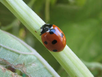 Ladybird's stem by Sia-Mon