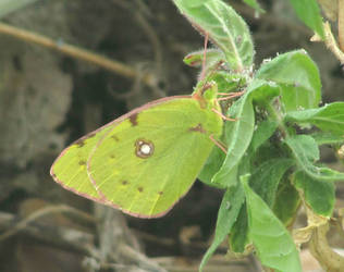 Clouded yellow butterfly by Sia-Mon