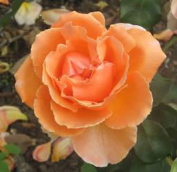 Orange rose by Sia-Mon