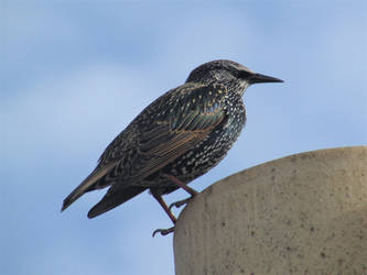 Starling by Sia-Mon
