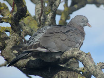 Tree pigeon by Sia-Mon