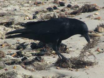 Vegan crow by Sia-Mon