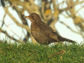 Female blackbird by Sia-Mon